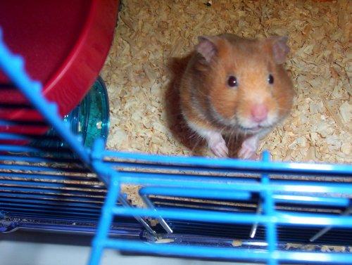 angel_hamster.jpg