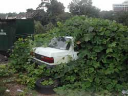 Kudzu Swallows A Car